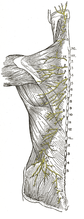 cutaneous thoracic nerves